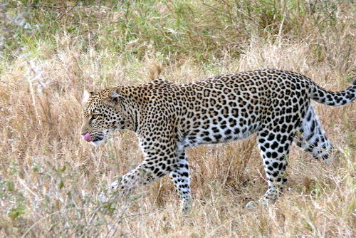 Female Leopard