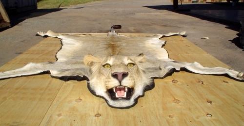 Lion Rug Mount