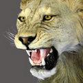 Lion Shoulder Mount