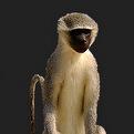 Monkey Full Mount