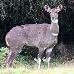 Mountain Nyala Female