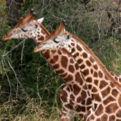 Nubian Giraffe
