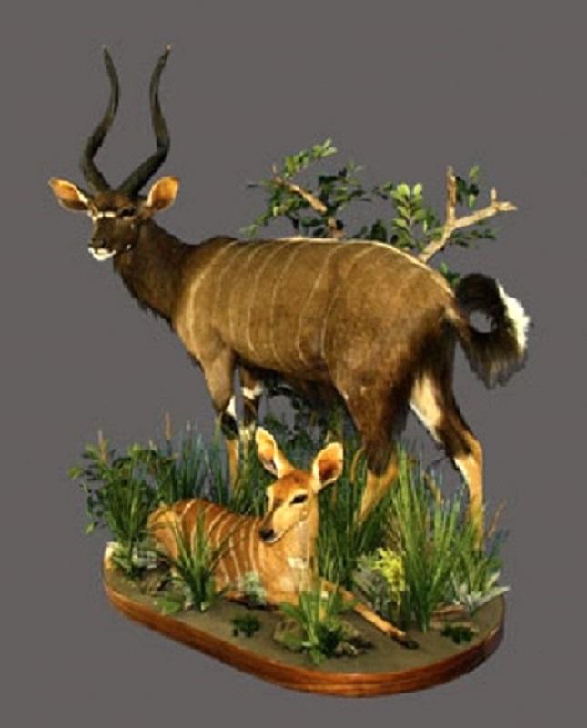 Nyala Bull Full Mount