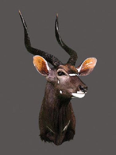 Nyala Bull Shoulder Mount