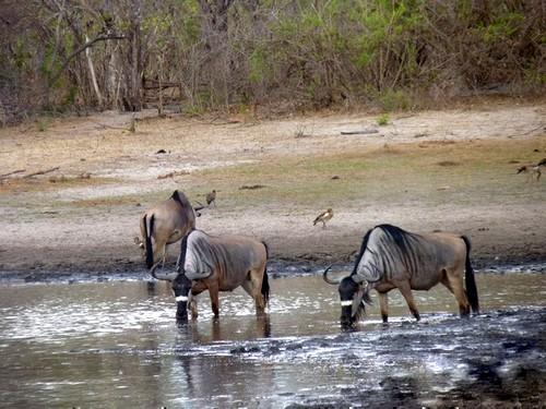 Nyasaland Wildebeest