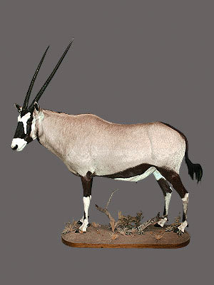Gemsbok Full Mount