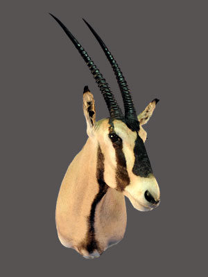 Gemsbok Shoulder Mount