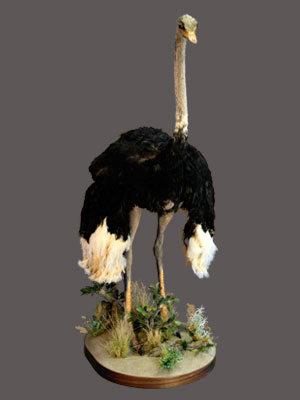 Ostrich Full Mount