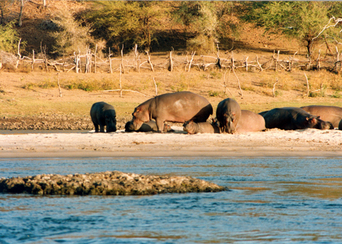 Hippo On Land