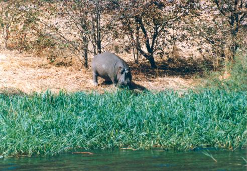 Hippo Trophy Judgement