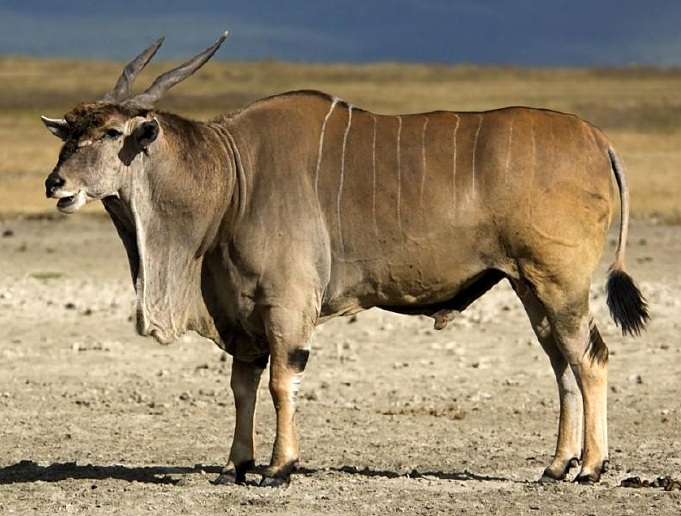 East African/Patterson's Eland Bull