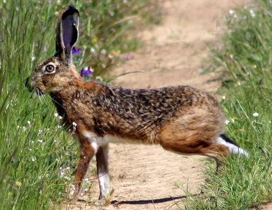 Portuguese Hare