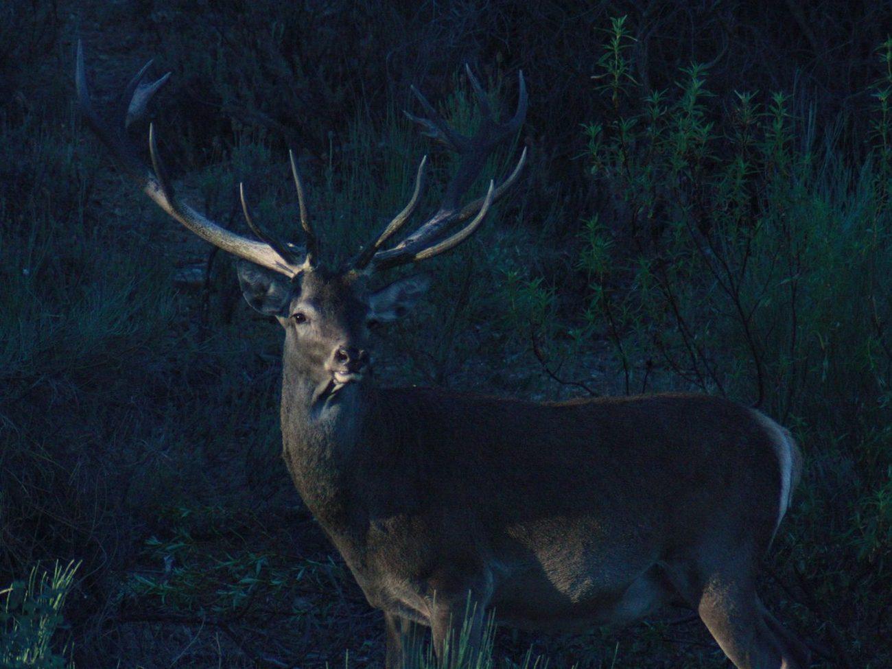 Portuguese Red Deer