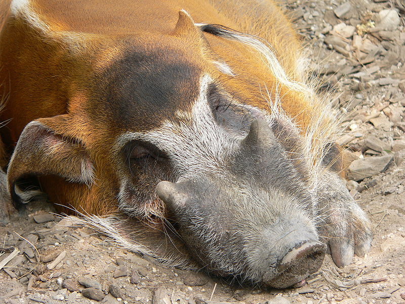 Red River Hog Boar