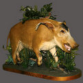 Red River Hog Full Mount
