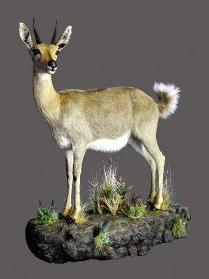 Reedbuck Full Mount