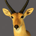 Reedbuck Shoulder Mount