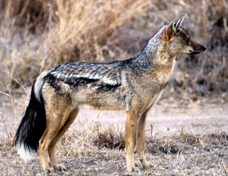 Side-Striped-Jackal