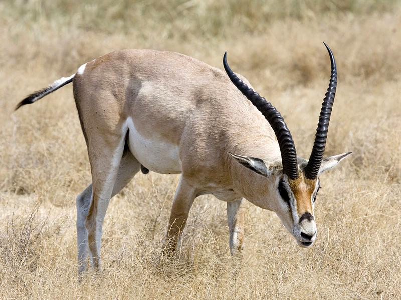 Southern Grant's Gazelle