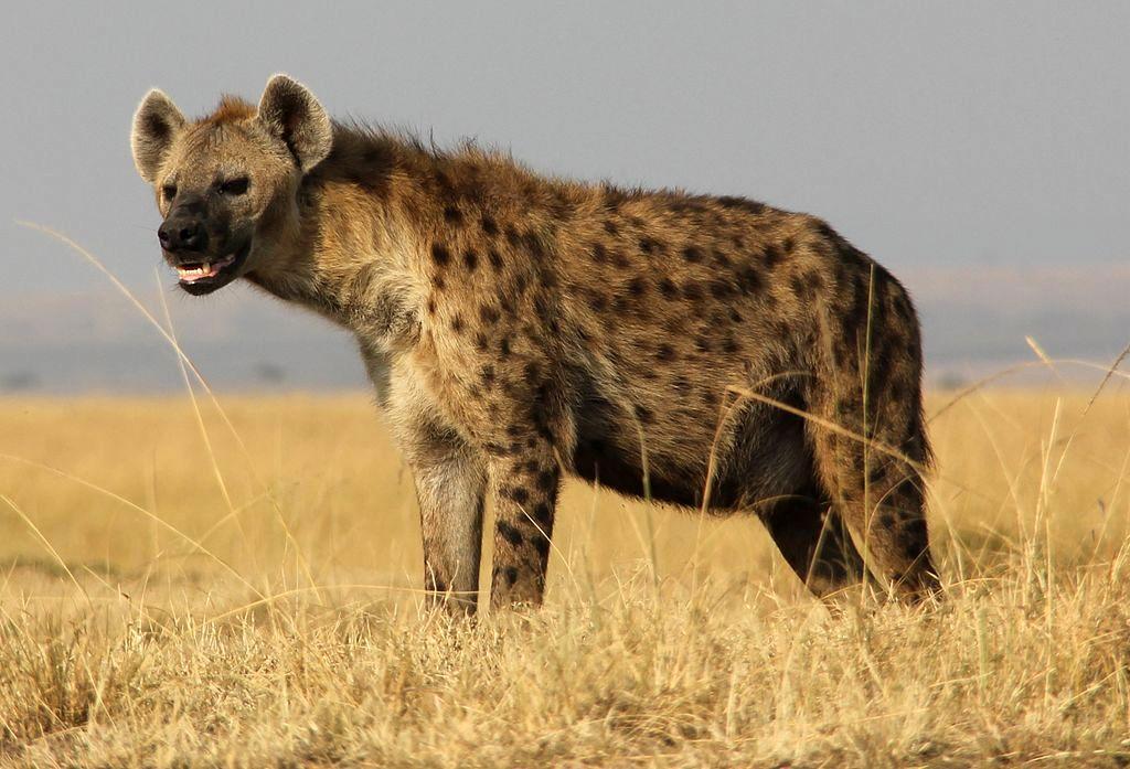 Hyena Hunting