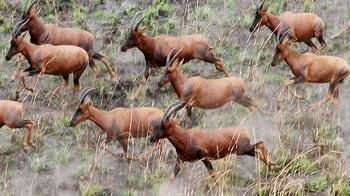 tsessebe hunting