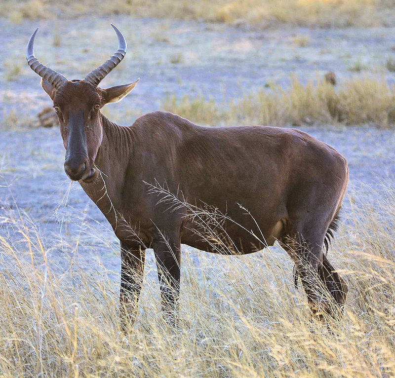 Common Tsessebe