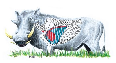 Warthog Shot Placement