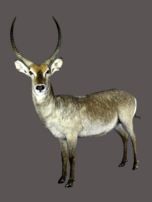 Waterbuck Full Mount