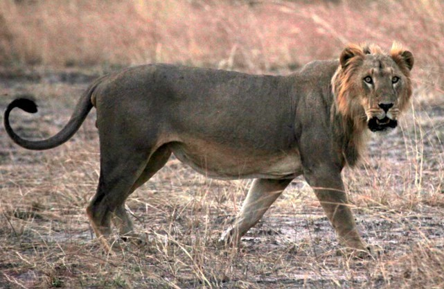 West African Lion