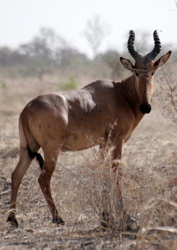 Western Hartebeest
