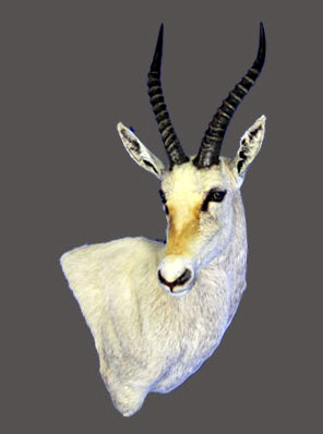 White Blesbok Wall Pedestal Mount