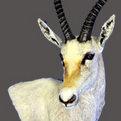 White Blesbok Wall Pedestal Mount
