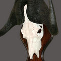 Black Wildebeest Skull Mount