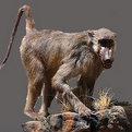 Baboon Full Mount