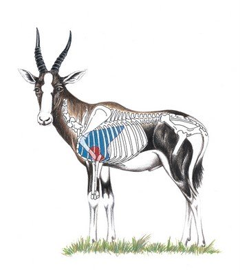 Blesbok Shot Placement Image
