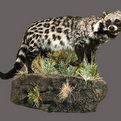 African Civet Full Mount