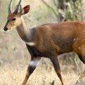 East African Bushbuck