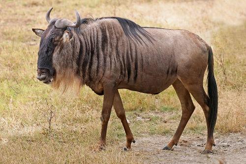 Eastern White-Bearded Wildebeest