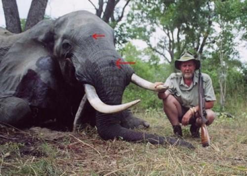 Elephant Bullet Placement