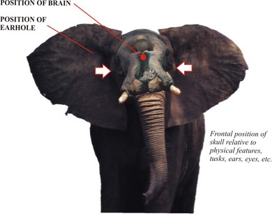 Elephant shot placement ccuart Images