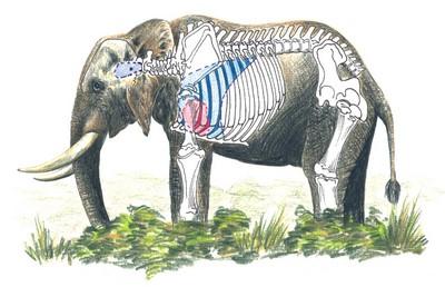 Elephant Shot Placement