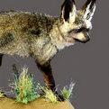 Bat-Eared Fox Full Mount