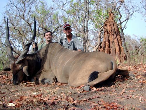 Giant Eland Bull