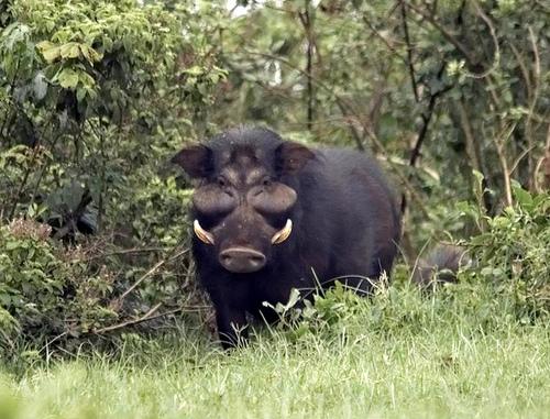 Giant Forest Hog Boar