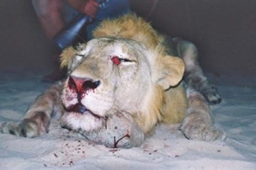 Lion Bullet Placement