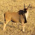 Livingstone's Eland Bull