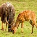 Nyala Bull & Ewe