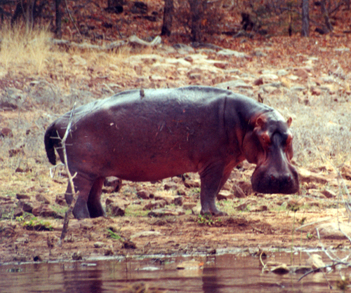 Hunting Hippo On Land