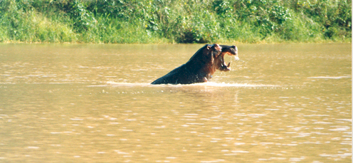 Hunting Hippo In Water