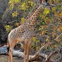 Rhodesian Giraffe